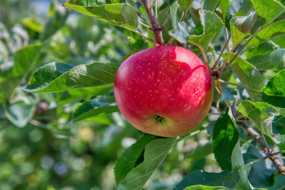 Red apple growing on a tree