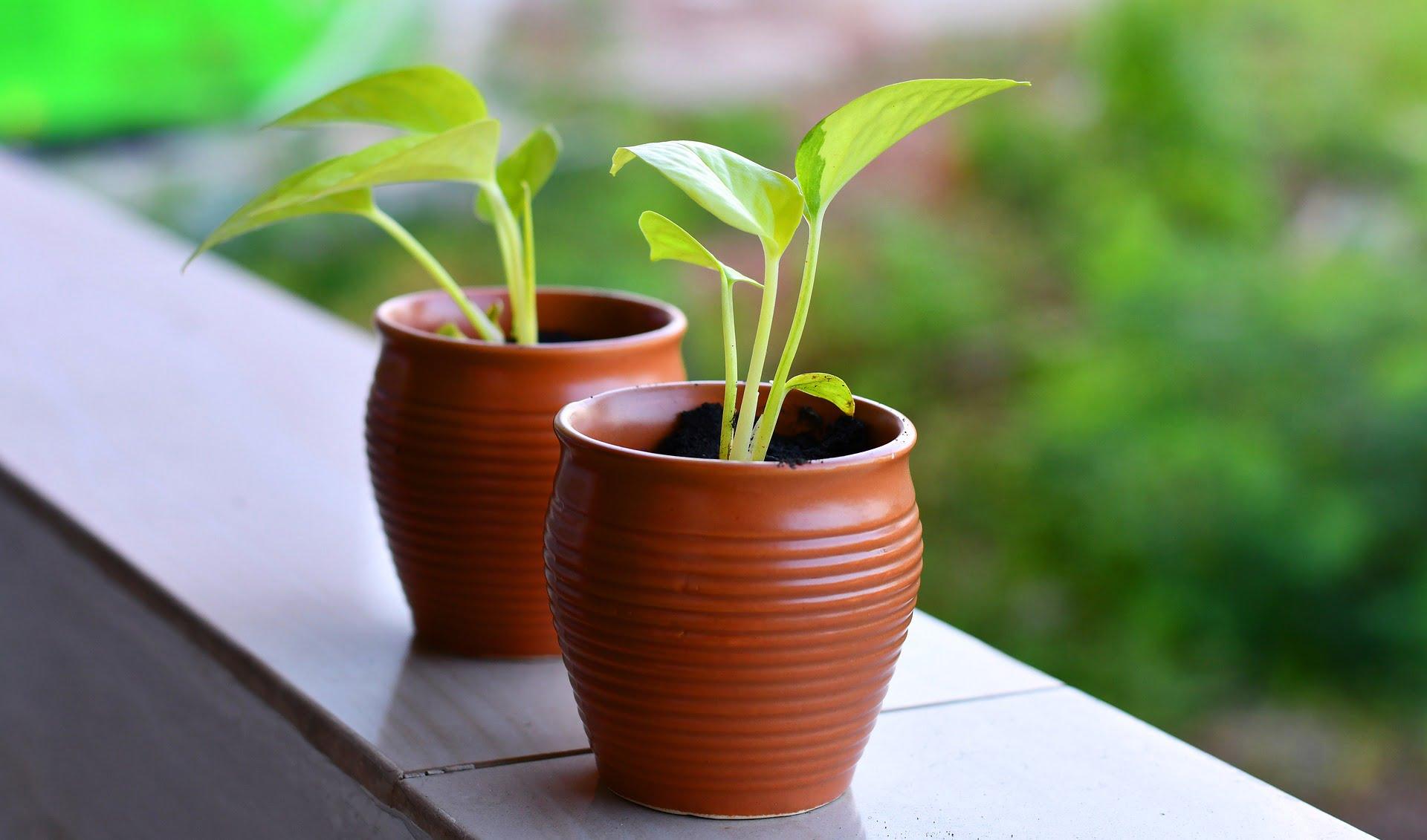 Two small saplings in terracotta pots.