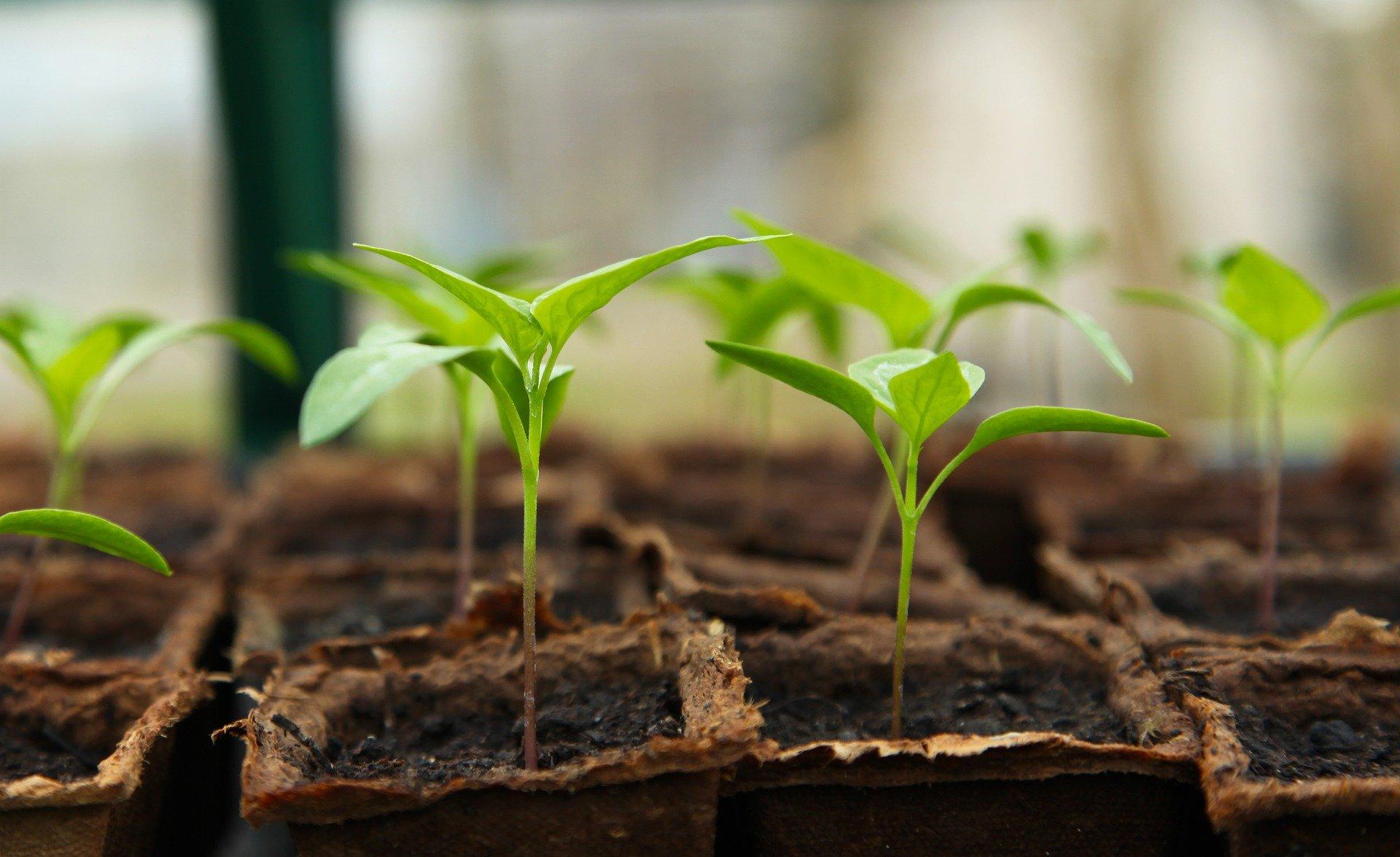 Seedlings growing in pots.
